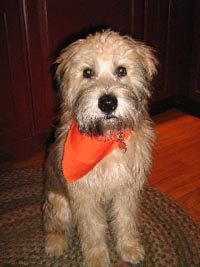 Wheaten terrier with allergies