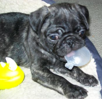 Puppies on Pug Puppies Are Hard To Resist   Agatha   Louise Blog