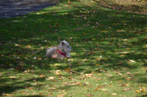 Our cairn terrier enjoying maine s fall foliage agatha amp louise blog