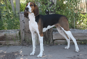 Treeing_walker_coonhound350